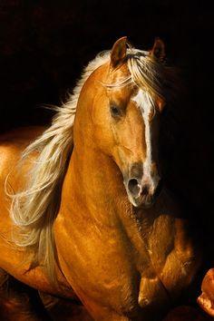 Golden Palomino horse