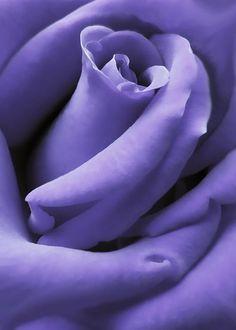 ~~Purple Velvet Rose Flower by Jennie Marie Schell~~