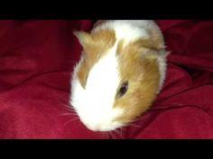 Guinea Pig Crackling Sick Noise - YouTube