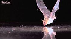 Der akustische Spiegel - Wie Fledermäuse Wasserflächen erkennen