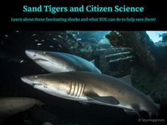 Tues, April 28 @ 1pm EST Although they may look menacing with their rows of sharp jagged teeth, sand tigers are actually docile sharks that are very tolerant of the thousands of divers who visit them every year in the waters off of North Carolina. But we know so little about these sharks, such as why they tend to hang out around the many shipwrecks off the North Carolina coast, why they aggregate in large groups, where they migrate to, and where they mate and give birth. Shark Activities, Educational Activities, North Carolina Coast, Citizen Science, Sharks, Hanging Out, Tigers, Teeth, Learning
