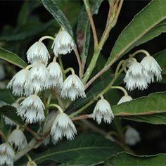 Elaeocarpus reticulatus-Australian native that has flowers that are described as anise scented. C.www.angbg.gov