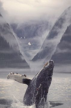 Composite Humpback Whale Breaching With Art Print by Ron Sanford. All prints are professionally printed, packaged, and shipped within 3 - 4 business days. Choose from multiple sizes and hundreds of frame and mat options. Orcas, Beautiful Creatures, Animals Beautiful, Fauna Marina, Photo Animaliere, Water Life, Ocean Creatures, Tier Fotos, Humpback Whale