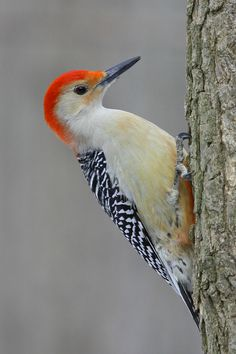This morning saw a red bellied woodpecker in our backyard!