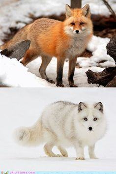 Red Fox and Arctic Fox - saw both species in Churchill Manitoba last year.
