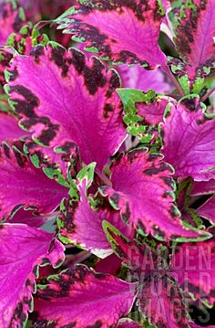 COLEUS PINK CHAOS So cool! Use our Extreme Blend to keep your plants happy and healthy! http://www.kelp4less.com/product-category/extreme-blend/