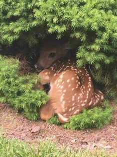 Baby deer taking a nap. Cute animal pictures of the day. Cute Creatures, Beautiful Creatures, Animals Beautiful, All Gods Creatures, Nature Animals, Animals And Pets, Strange Animals, Wildlife Nature, Cute Baby Animals