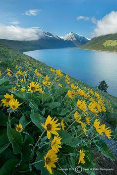 Balsamroot wildflowers on Wallawa Lake moraine near Joseph, Oregon