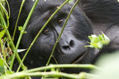 UGANDA MOUNTAIN GORILLAS & CHIMPANZEES ENDANGERED MOUNTAIN GORILLAS AND CHIMPANZEES IN THE WILD: Kibale National Park and Bwindi Impenetrable Forest