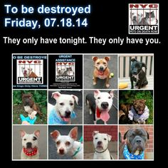 TO BE DESTROYED - 07/18/14 PITTIES ARE IN DANGER AGAIN. THERE ARE FAR TOO MANY TODAY!!! ALL THESE DOGS COUNT ON US!!! LET'S NOT LET THEM DOWN!!! PLEASE OPEN YOUR HEARTS AND PLEDGE, TAKE THEM HOME, BUT BE QUICK AS TIME IS TICKING AWAY. PLEASE BE QUICK WHEN MAKING UP YOUR MIND!!!  https://www.facebook.com/media/set/?set=a.611290788883804.1073741851.152876678058553&type=3
