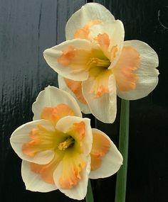 Narcissus Pink Wonder - Split-Cup Narcissi - Narcissi - Flower Bulb Index