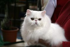 Pictures Persian Cats | related posts siamese cat photos care of persian cats keeping your ...