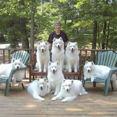 7 Samoyed Dogs Need Home - Owner In Hospice Samoyed Dogs, Pet Dogs, Dogs And Puppies, Dog Cat, Doggies, Flea Shampoo For Cats, Siberian Cats For Sale, Hyper Dog, Crazy Dog Lady