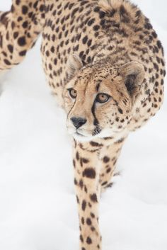 Big Cats, Cool Cats, Cheetah Pictures, Animals And Pets, Cute Animals, Serval Cats, Paws And Claws, Cat People, Leopards