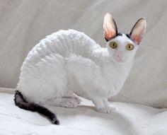Лунный мальчик из сказки и изысканная, богемная англичанка – так выглядят типичные коты и кошки породы Корниш-рекс.
