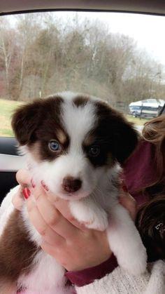 Cute Teacup Puppies, Super Cute Puppies, Cute Baby Dogs, Cute Little Puppies, Cute Dogs And Puppies, Cute Little Animals, Cute Funny Animals, Doggies, Aussie Puppies