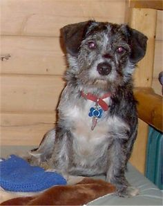 Bleau, a 3 year old Cocker Westie (Cocker Spaniel / West Highland White Terrier mix)