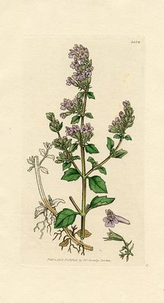 Lesser Calamint (Thymus nepeta) English Botany - First Edition(England,1805)