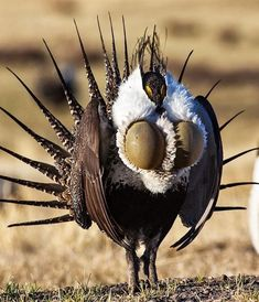 The Greater Sage-Grouse is a large ground-dwelling bird that has finely stamped brown, black, beige and white upper parts, a dark stomach, and a since a long time ago pointed tail. Exotic Birds, Colorful Birds, Dumbo The Elephant, Collie, Sea Cow, Grouse, Wild Nature, Beautiful Birds, Beautiful Pictures