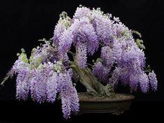 Heirloom 15 Wisteria Seeds Bonsai Tree Seeds Wisteria sinensis Chinese Wisteria Vine Violet Blue Flowers T017, $1.79