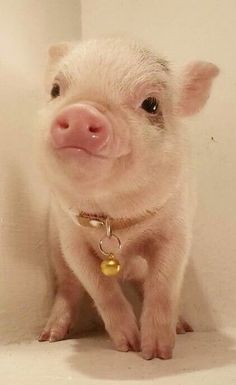 The Daily Cute: Undebatably Adorable Pigs Micro piglet pet pig miniature pig baby pig animals pets baby pigs animal micro pigs videos micropig pet pigs family minipig small funny videos best piggie piggies Cute Baby Pigs, Baby Piglets, Cute Piglets, Mini Piglets, Cute Little Animals, Cute Funny Animals, Teacup Pigs, Pet Pigs, Tier Fotos