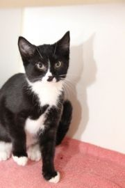Urgent Pets held at CCAC ** ID 26476  Pet Name/Cage Number: C08     Breed: Tuxedo     Age: Young     Size: Small     Gender: Male     Spayed/Neutered: No     Shelter Name: Euphrates ** Coweta County Animal Control 91 Selt Road (off of Hospital Road), Newnan, GA 30263 Phone: 770-254-3735 http://nchsrescue.org/petDetails/viewAllUrgent/pets/urgent_kittens