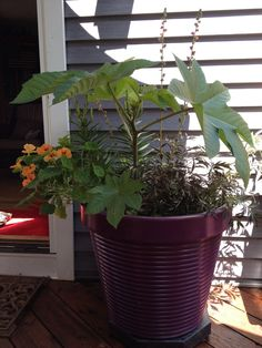 Castor bean with large leaves in a pot. Easy to grow from seed.