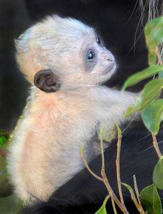 ˚Baby Angolan Colobus Monkey