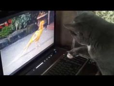 Cat Vs The Bird On Laptop Screen - #funny #cat
