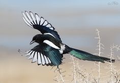 magpie tattoo - amazing wing detail/interesting position ||Black-billed Magpie (Pica hudsonia), North America (photo by ron dudley) Three families nest in my yard.||