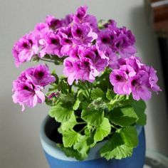 Cultivo del geranio como planta de interior