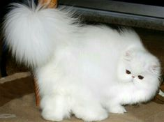 Persian Cat Gallery - Cat's Nine Lives Pretty Cats, Beautiful Cats, Kittens Cutest, Cats And Kittens, Persian Kittens, White Cats, White White, Cute Cat Gif, Cattery