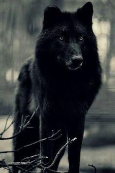 black, dangerous, nature, stuff, wild, wolf, First Set on Favim.com