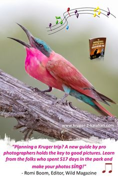 Southern carmine bee-eater in Kruger Park Park Photography, Photography Guide, Night Photography, Wildlife Photography, Kruger National Park, National Parks, Lion Hunting, Cute Lion