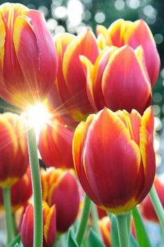 Beautiful spring time flowers, tulips, photography