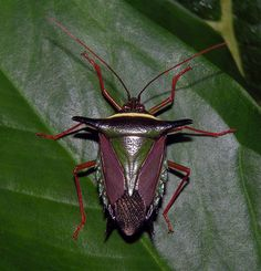 Amazon stink bug (Pentatomidae), Peru
