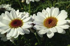 Two Pretty Daisies