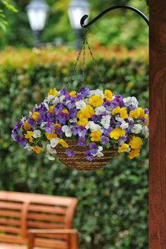 Queridos amigos,   Entrámos na época alta dos amores- perfeitos ! eles invadem os jardins, os terraços, as varandas e até as casas. São uma...