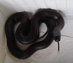 Mexican black king snake and guess what? We have them here in Georgia, USA. Black Animals, Cute Animals, Giant Animals, Mexican Black Kingsnake, Spiders And Snakes, Cute Snake, Beautiful Snakes, Tattoos For Kids, Black Mamba