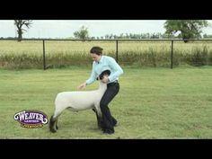 Teaching Show Sheep to Brace Livestock Judging, Showing Livestock, Sheep Pen, Show Goats, Teacup Pigs, Farm Kids, Show Cattle, Mini Pigs, Animal Science
