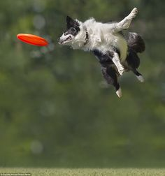 Mr Piccoli was able to throw his frisbee at his dogs and pick up his camera and capture th...