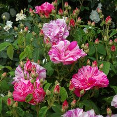 Rosa Mundi Rose: Gallicas; (aka Rosa gallica versicolour), 1100, shrub, summer flowering,some scent,tolerate small amount of shade,not very thorny, attracts bees. A striking and very old rose. Said to be named after Fair Rosamund, mistress of Henry II. 12th century.