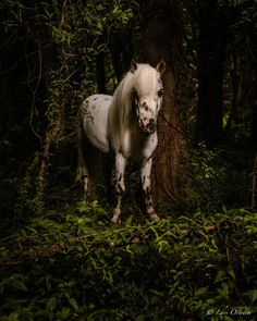 Had a great time taking pictures of this lovely spotted miniature in a magical forest. Kristi Yamaguchi, Miniature Horses, Little Bo Peep, Magic Forest, Trail Riding, Horse Photography, Newfoundland, Taking Pictures, Dachshund