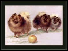 English-Print-Pomeranian-Dog-Dogs-Puppy-Puppies-Art-Picture-Vintage-Poster