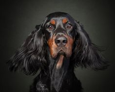 Very photogenic with that luscious fur Gordon setter www.attorstudio.com Toronto #gordonsetter #photography