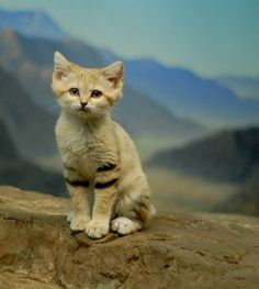 Sand cat (Felis margarita) is one of the smallest of all the wild cats. I Love Cats, Crazy Cats, Cool Cats, Beautiful Cats, Animals Beautiful, Sand Cat, Photo Chat, Crazy Cat Lady, Funny Animals