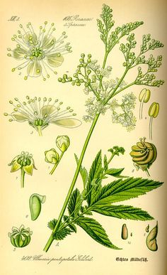 MEADOWSWEET FORAGE FOR FREE, MEDICINAL USES, RECIPES + INFORMATION — Forking Fit