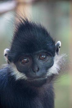 Langur de Francois (Trachypithecus francoisi), primate del sureste asiático, muy amenazado de extinción