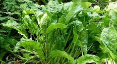 Perennial Vegetables We Grow on our Permaculture Homestead Sorrel Recipe, Wood Sorrel, Perennial Vegetables, Aquaponics Diy, Herbs For Health, Herb Seeds, Jamaican Recipes, Edible Garden, Herbal Medicine