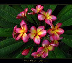 Rare Flowers - Plumeria Raspberry Sundae by mad plumerian, via Flickr